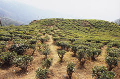 Плантация чая Darjeeling Стоковая Фотография RF