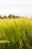 Плантация ячменя в суффольке, Англии, Великобритании Стоковая Фотография RF