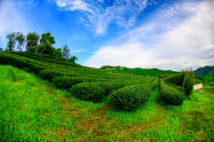 плантация 101Tea в Chiang Rai Стоковые Фото