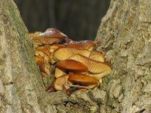 Пластинчатые грибы меда зимы Стоковое Фото
