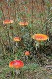 Пластинчатые грибы мухы (muscaria мухомора) Стоковая Фотография RF