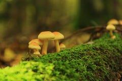 Пластинчатый гриб меда Стоковое Изображение