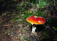 Пластинчатый гриб мухы в лесе Стоковое Фото