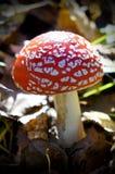 Пластинчатый гриб мухы гриба в лесе Стоковые Изображения RF