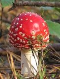 Пластинчатый гриб мухы, гриб стоковые изображения rf