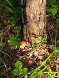 Пластинчатый гриб мухы мухомора гриба Стоковое Изображение