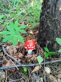Пластинчатый гриб мухы мухомора гриба Стоковое Изображение RF