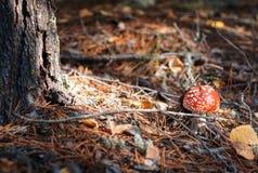 Пластинчатый гриб мухы около дерева Стоковое Изображение RF