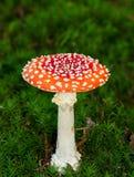 Пластинчатый гриб мухы Стоковая Фотография
