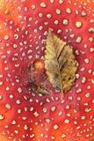 Пластинчатый гриб мухы Стоковые Изображения