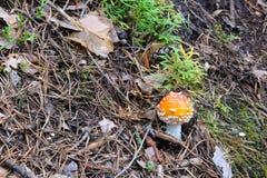 Пластинчатый гриб мухы стоковая фотография rf