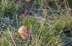 Пластинчатый гриб мухы Стоковые Фотографии RF