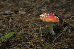 Пластинчатый гриб мухы Стоковое Изображение RF