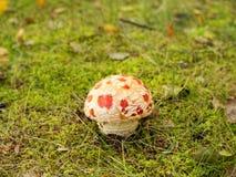 Пластинчатый гриб мухы Стоковое Фото