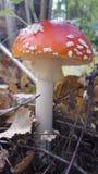 Пластинчатый гриб мухы Стоковые Изображения RF