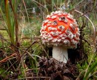 Пластинчатый гриб мухы Стоковое Изображение
