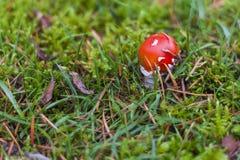 Пластинчатый гриб мухы, aka мухомор мухы Стоковые Фото