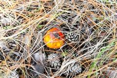Пластинчатый гриб мухы muscaria мухомора или мухомор мухы Красный гриб в елевых иглах и конусах Стоковое Изображение RF