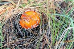 Пластинчатый гриб мухы muscaria мухомора или мухомор мухы Красный гриб в елевых иглах и конусах Стоковые Фото