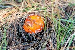 Пластинчатый гриб мухы muscaria мухомора или мухомор мухы Красный гриб в елевых иглах и конусах Стоковое Изображение