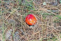 Пластинчатый гриб мухы muscaria мухомора или мухомор мухы Красный гриб в елевых иглах и конусах Стоковые Изображения