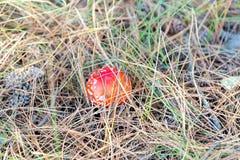 Пластинчатый гриб мухы muscaria мухомора или мухомор мухы Красный гриб в елевых иглах и конусах Стоковые Изображения RF