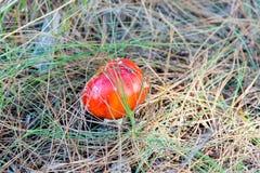 Пластинчатый гриб мухы muscaria мухомора или мухомор мухы Красный гриб в елевых иглах и конусах Стоковое фото RF