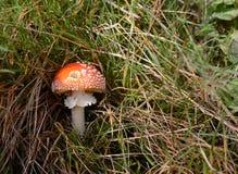 (Пластинчатый гриб мухы muscaria мухомора) красивый toadstool оранжевого красного цвета Стоковые Фотографии RF
