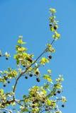Платан Фамильные дерев дерев Стоковое Фото