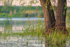 Плача верба в болоте Стоковые Изображения RF