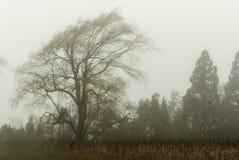 Плача верба в тумане Стоковые Изображения