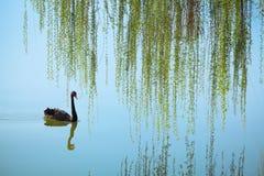 Плача верба и черный лебедь Стоковые Фото