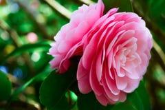 Плача дерево розы пинка Стоковая Фотография RF
