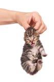 Плача котенок Стоковое Изображение