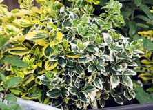 Плача смоква (benjamina) фикуса, садовничая тема Стоковое фото RF