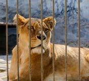 Плененная львица за загородкой клетки Стоковое фото RF