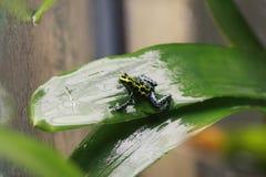 Плененная лягушка дротика отравы эскиза Стоковые Фотографии RF