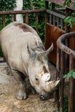 Плененный носорог Стоковая Фотография