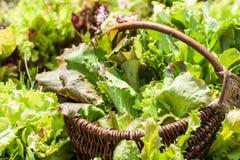 Плетеная корзина с салатом Стоковая Фотография
