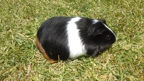 плечо 6587 морских свинок Стоковая Фотография