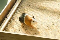 плечо 6587 морских свинок стоковое изображение