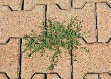 Плитки дороги с knotweed Стоковые Изображения RF
