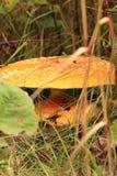 Плоский покрытый гриб в лесе падения Стоковое Фото
