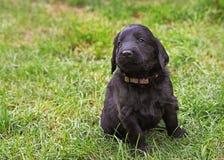 Плоский покрытый щенок retriever Стоковые Изображения