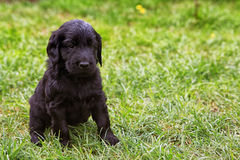 Плоский покрытый щенок retriever Стоковое фото RF