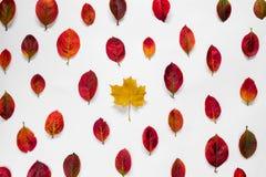 Плоский состав желтого кленового листа сравнивает с красным орнаментом листьев осени на белой предпосылке Стоковое Изображение RF