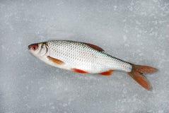 Плотва лежа на льде, этой рыбной ловле зимы Стоковые Фото