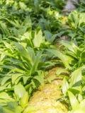 Плотная вегетация лук-порея медведя Стоковое Фото