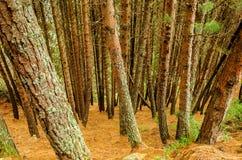 Плотная пуща дерева сосенки Стоковое Фото