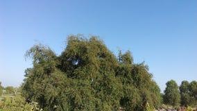 Плотное дерево ber Стоковое Изображение RF